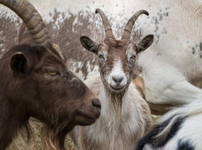 Funny and friendly goat with big horns royalty free stock photography
