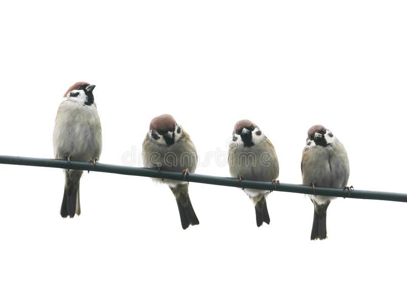 friendly little birds sitting on a wire on white sky backg royalty free stock image