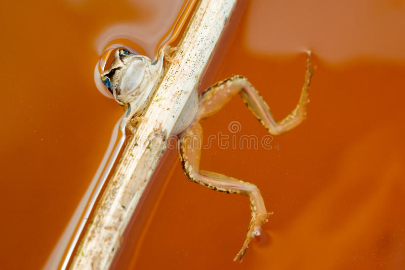 Funny frog holds on stick in water royalty free stock images