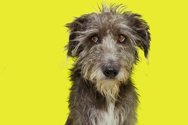 Funny furry dog disheveled isolated on yellow background. Funny black furry dog disheveled isolated on yellow background. stressed face royalty free stock photography