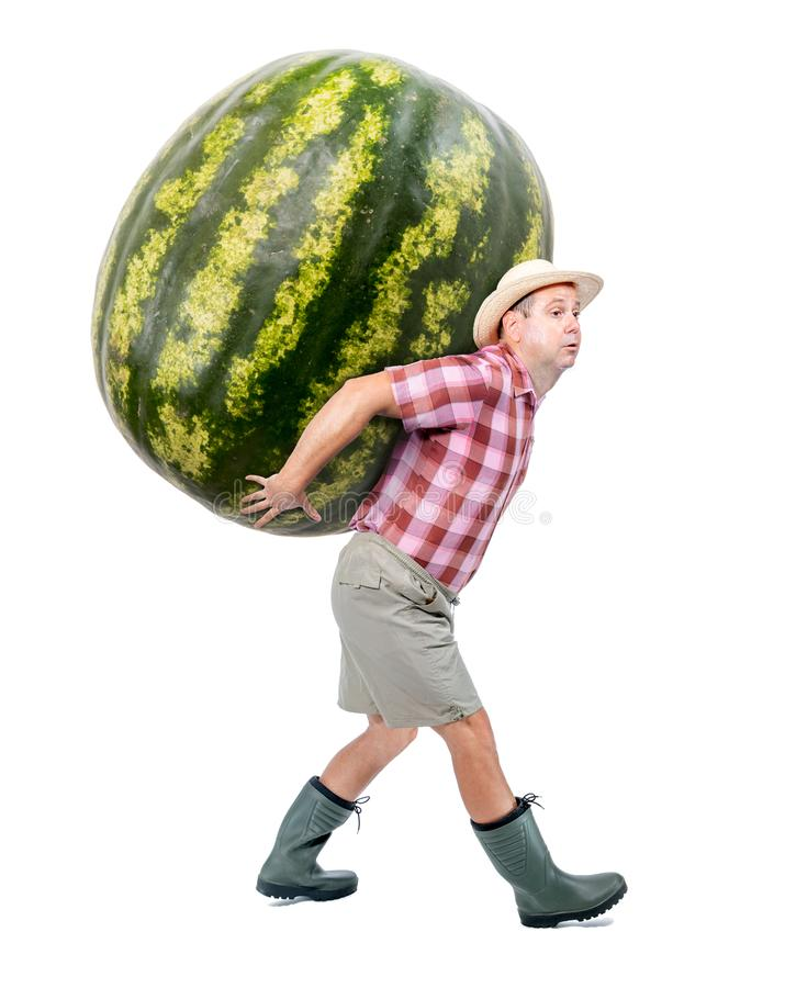 Funny gardener carrying a large watermelon. A farmer hold big water melon isolated on white background. Successful vegetable fruits grower. Large harvest of stock photo
