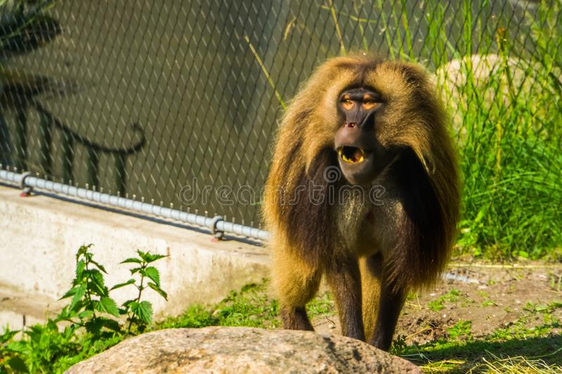 Funny gelada baboon making sound, monkey face in closeup, tropical primate specie from the ethiopian highlands of africa stock photo