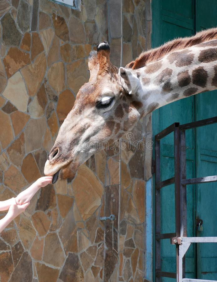 A funny giraffe takes a treat with his lips from the hands of a child, which is supported by the hand of his mother. royalty free stock photography