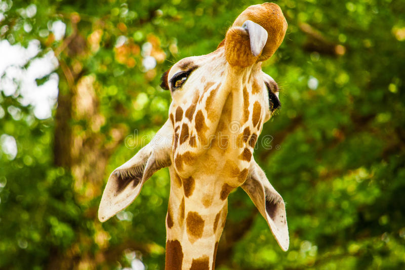 Funny giraffe with tounge out,. A cute giraffe with tounge out, Fossil Rim Wild Center, Glen Rose, Texas, USA royalty free stock images