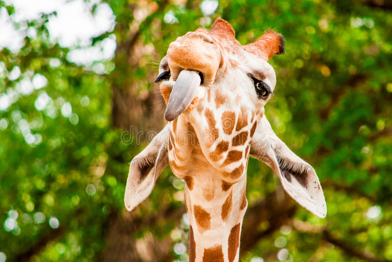 Funny giraffe with tounge out,. A cute giraffe with tounge out, Fossil Rim Wild Center, Glen Rose, Texas, USA royalty free stock photos