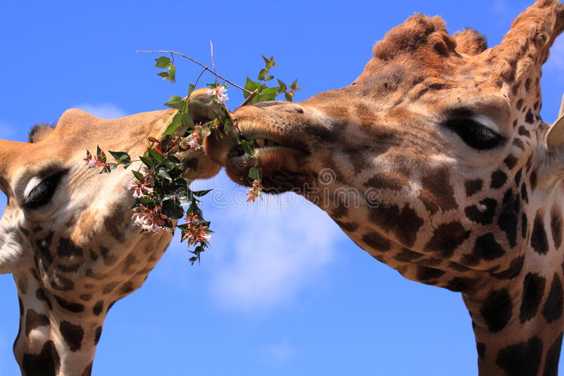 Funny giraffes animals eating together. Two giraffes eating together from a branch of a tree in the zoo of pont scorff in France, europe