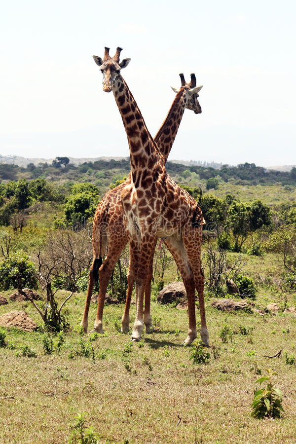 Funny giraffes. Two funny giraffes in the arusha national park in tanzania royalty free stock images