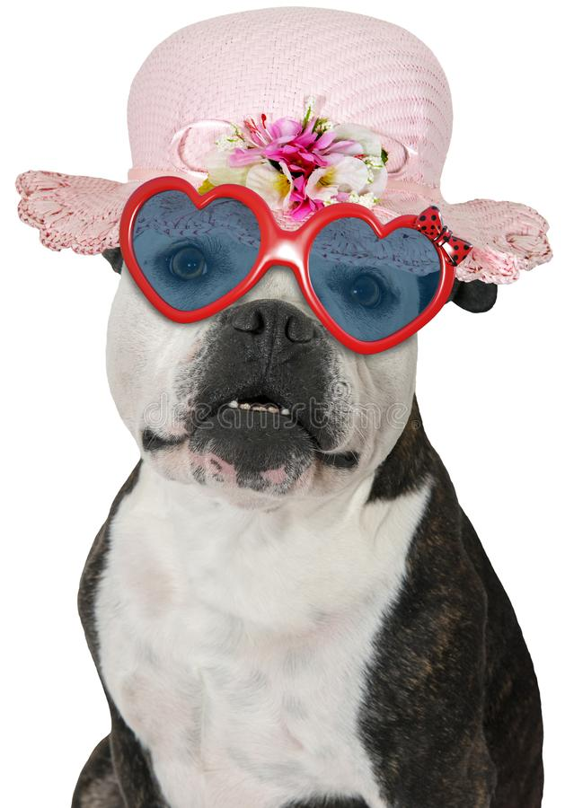 Funny Girl Dog, Bulldog, Isolated. Funny girl or female dog wearing heart shaped sunglasses and a pink hat or bonnet. The bulldog is isolated on white, PNG file royalty free stock photos