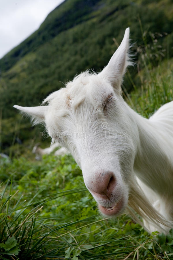 Funny goat. Portrait of a funny goat blindly on a green meadow royalty free stock image