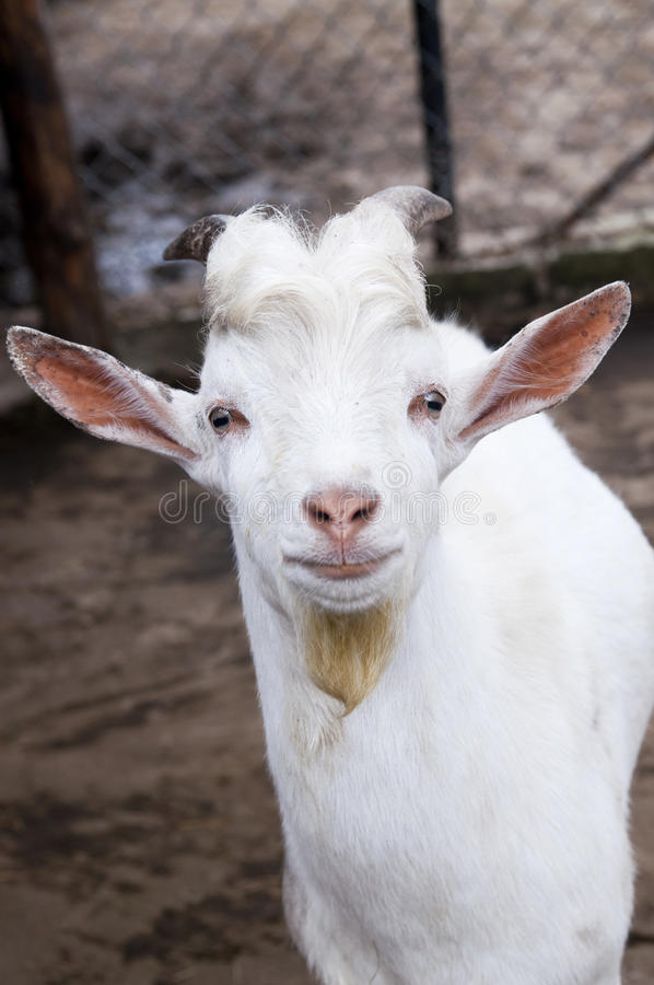Funny goat royalty free stock images