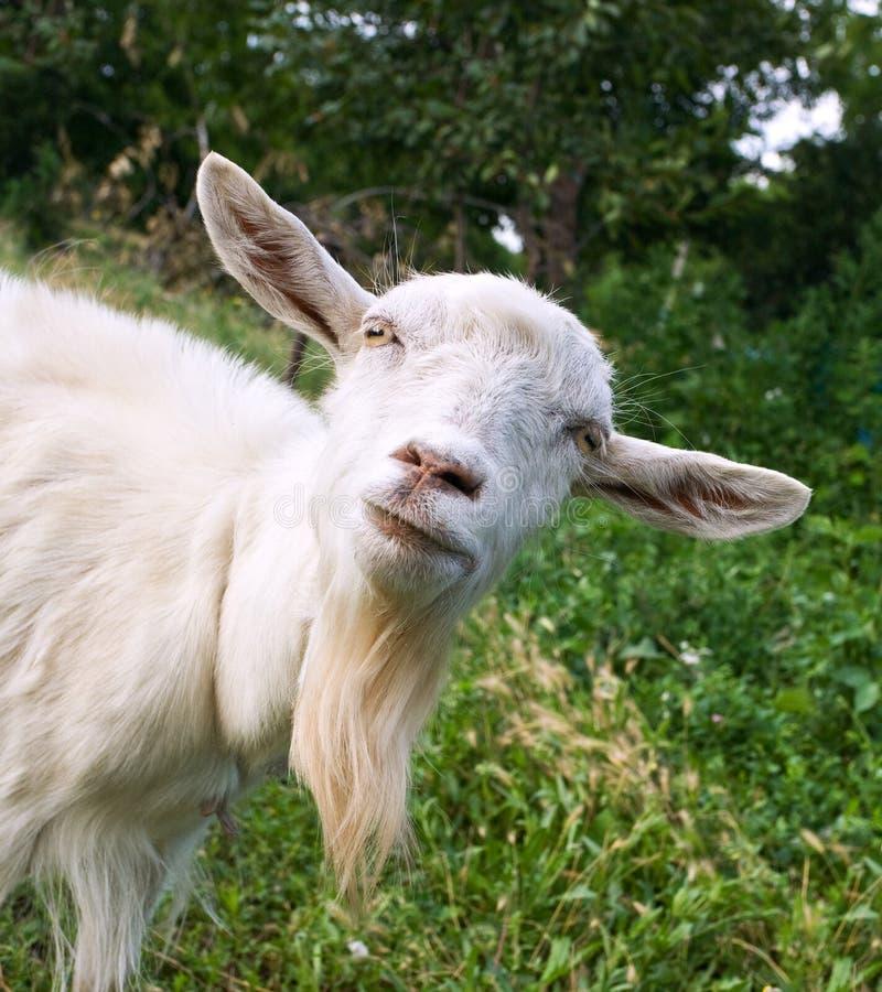 Funny goat stock photo