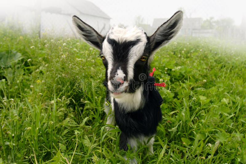 Funny goat stock images