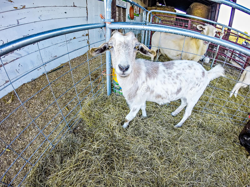 Funny goat behind fence at the farm royalty free stock photos