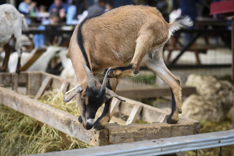 Funny goat scratching stock image