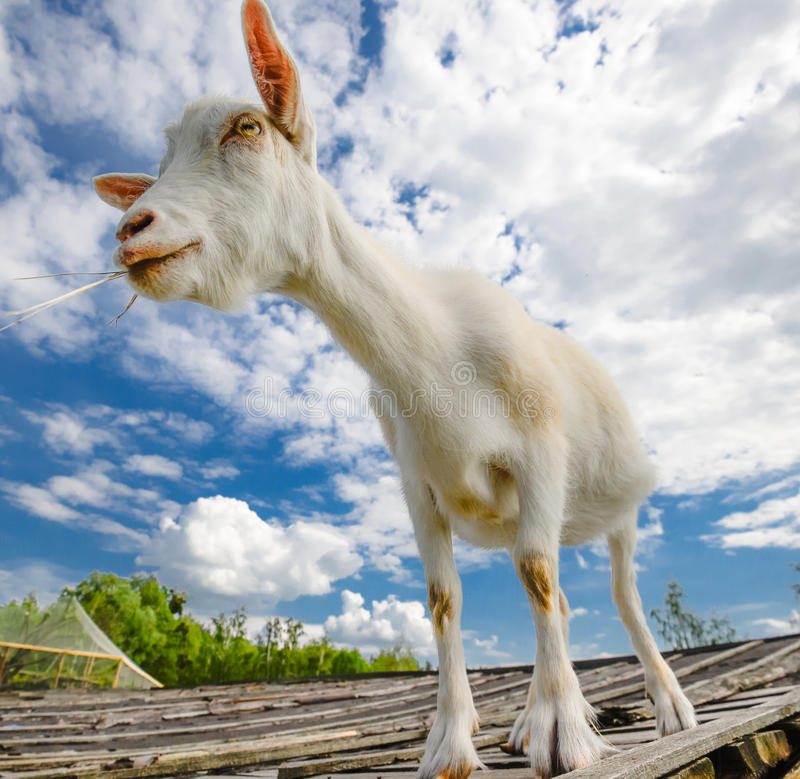 Funny goat standing on barn roof on country farm. Cute and funny white young goat on a background of blue sky. royalty free stock photography