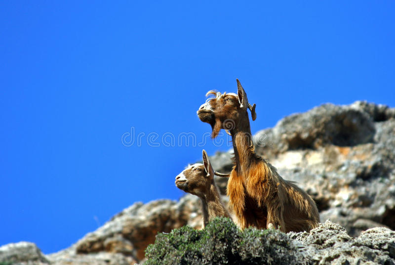 Funny goats stock images