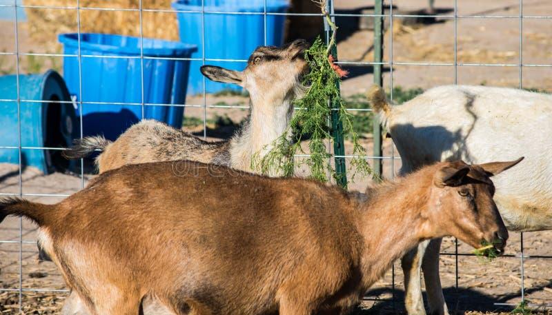 Funny Goats stock photo