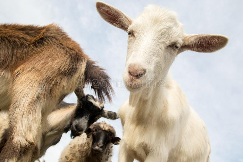 Funny goats and sheep on the farm royalty free stock photos