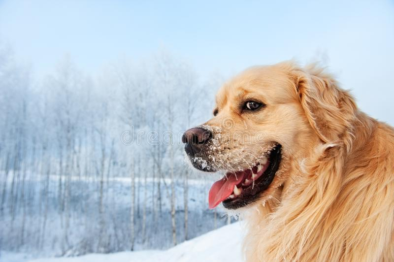 Funny golden retriever royalty free stock photo