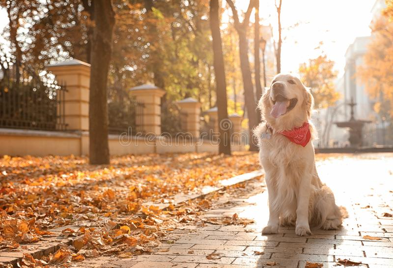 Funny Golden retriever in beautiful autumn park stock images