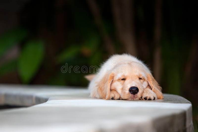 Funny golden retriever labrador puppy lying stretched at poolside royalty free stock images