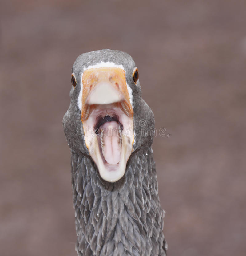 Free Funny Goose Stock Images - 16701694