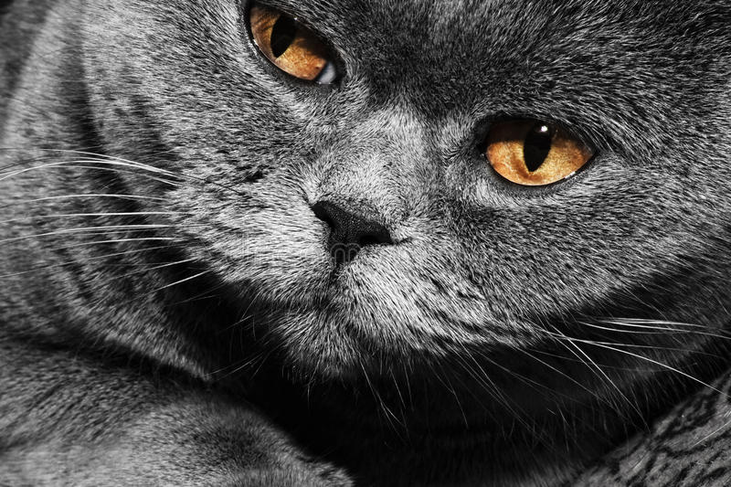Download Funny gray British cat stock image. Image of color, purebred - 22200475