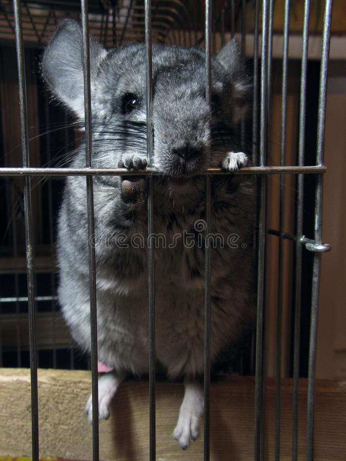 Funny funny gray standard adult chinchilla sits in his cage stock photo