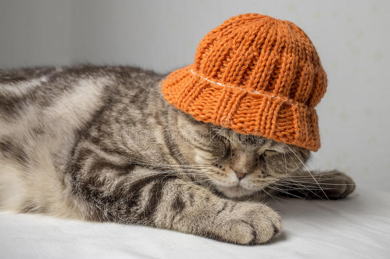 Funny gray striped scottish fold cat with a orange winter hat on his head lies on a table. Covered with a white cloth and sleeping stock image