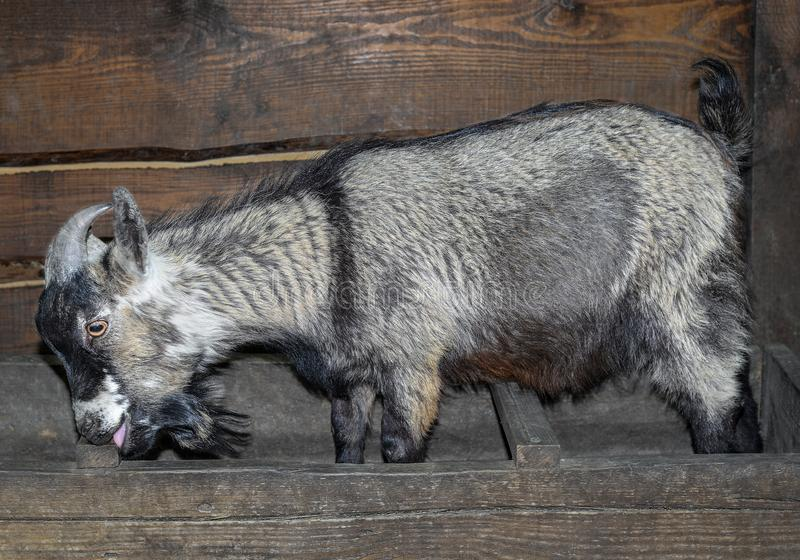 Funny grey goat eating in the barn. Goat close up in front of wooden background. Farm animals stock images
