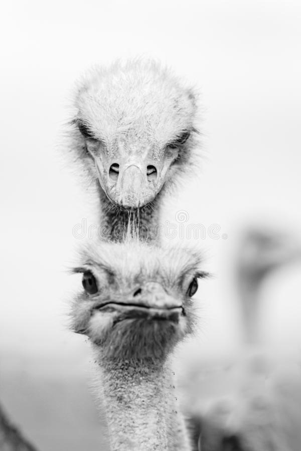 Funny grimace of ostrich, royalty free stock photo
