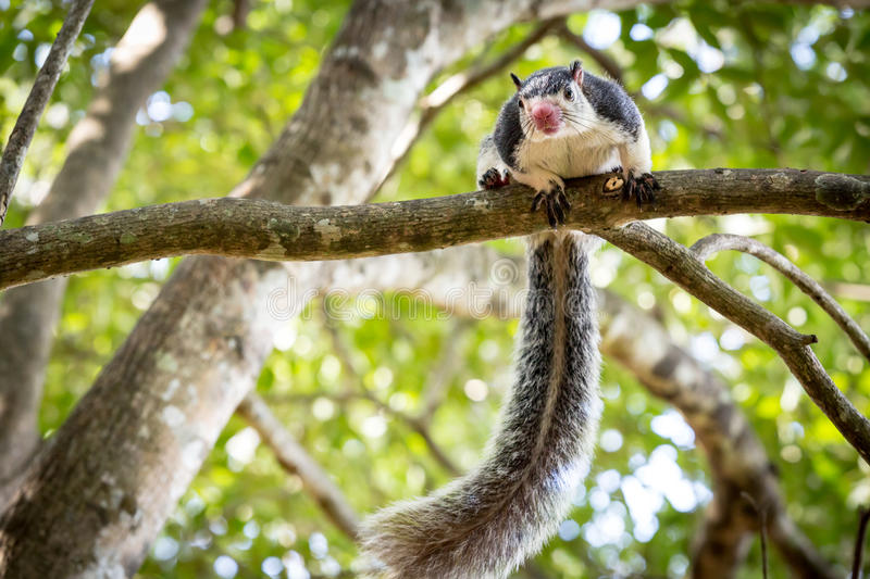 Funny Grizzled Giant Squirrel. Among trees in jungle royalty free stock photo