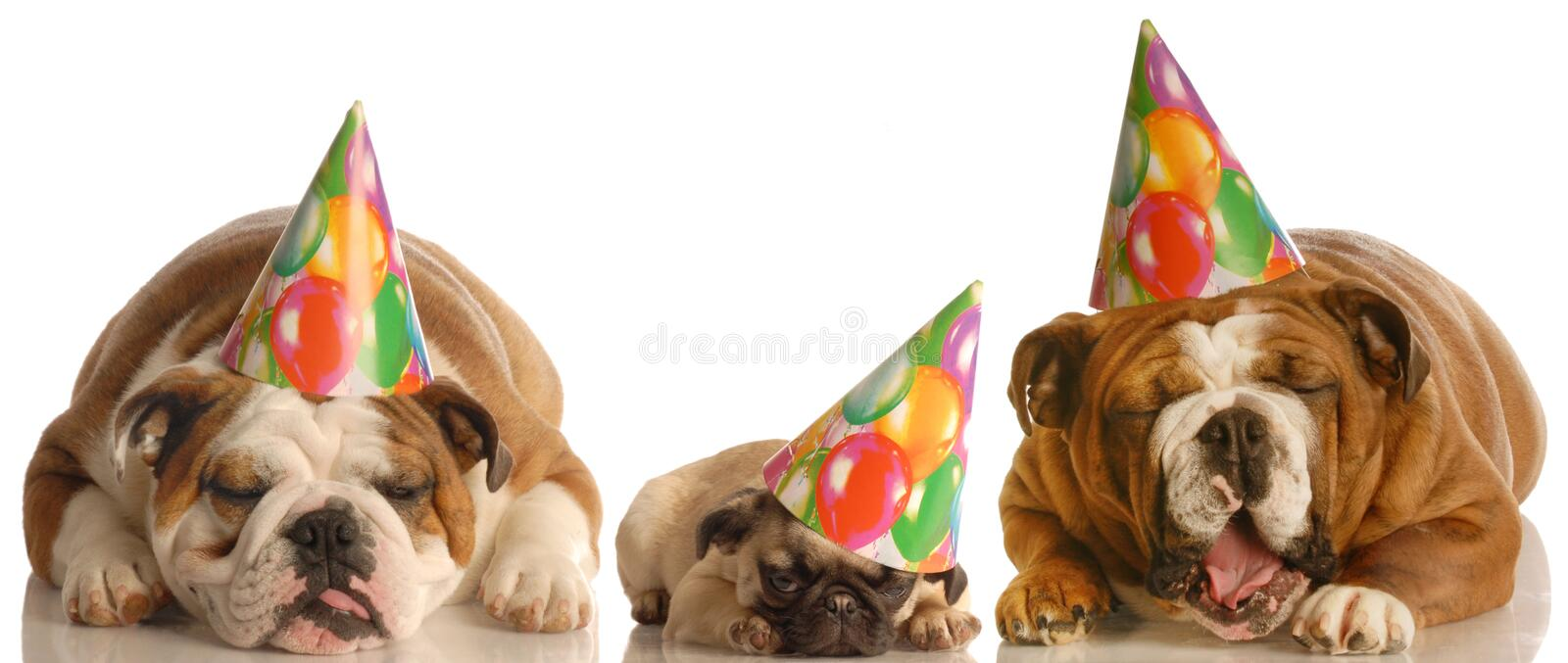 Funny groaning birthday dogs. Too much party - two english bulldogs and a pug wearing birthday hats royalty free stock photos