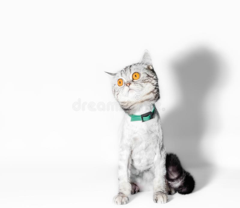 Funny groomed cat with big yellow eyes close up on a white background. Funny groomed cat with big yellow eyes closeup on a white background stock photo