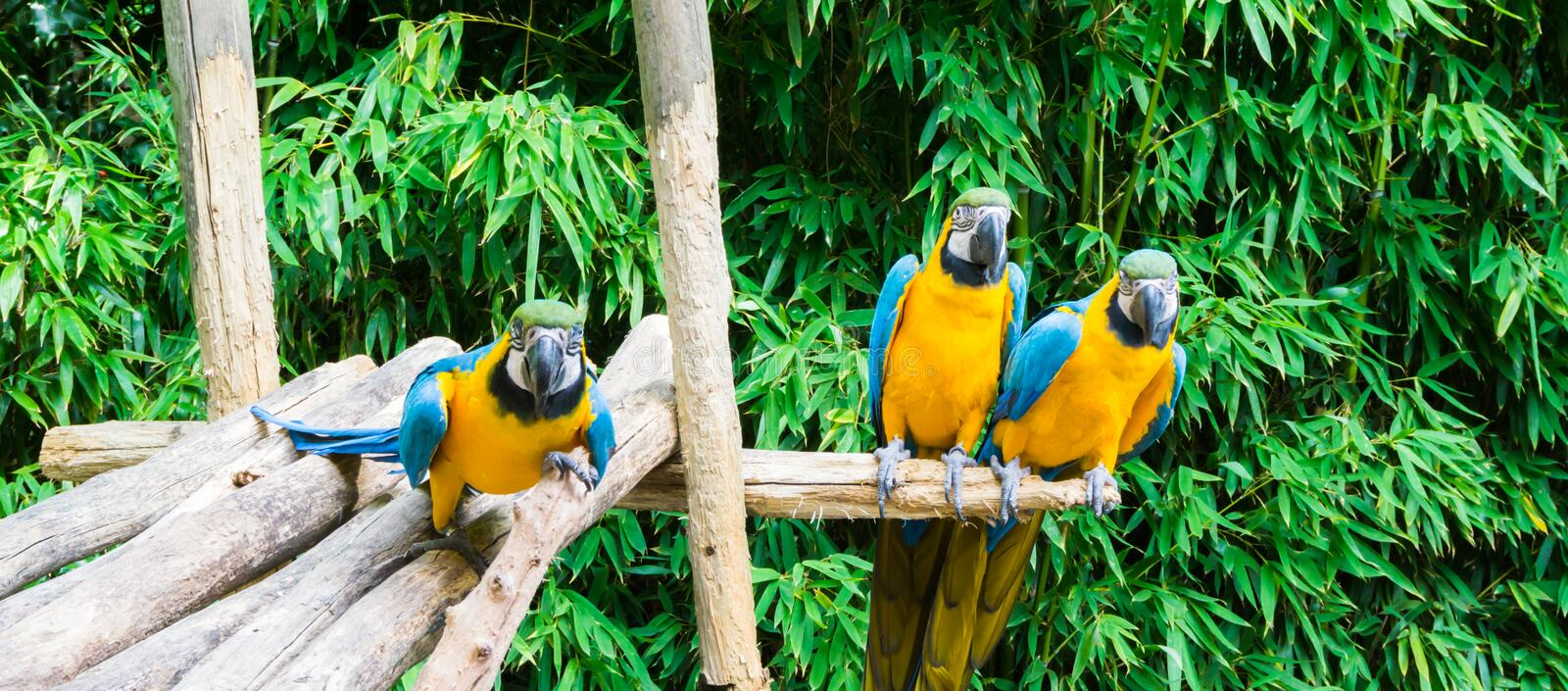 Funny group of blue and yellow colorful macaw parrots sitting on a wooden branch and one coming close. A funny group of blue and yellow colorful macaw parrots royalty free stock images