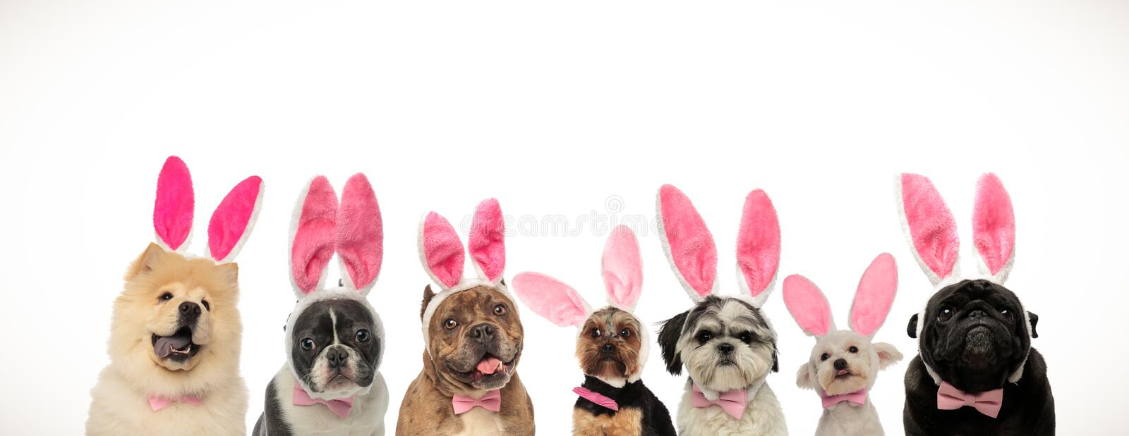 Funny group of puppies wearing bunny ears for easter holiday. On white background stock image