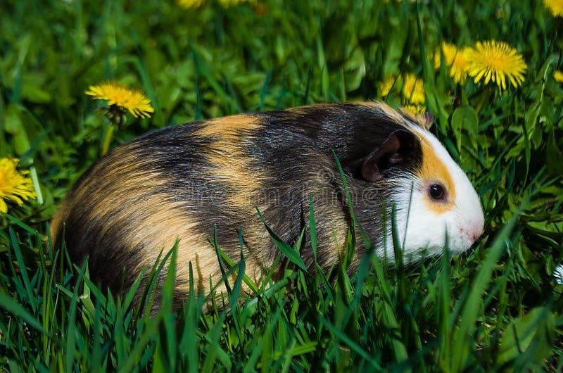 Funny guinea pig stock photos