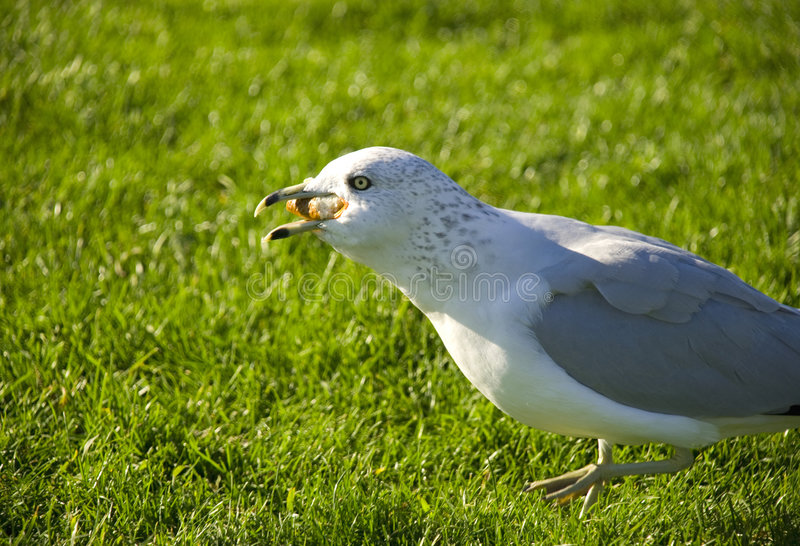 Funny gull by close up stock photos