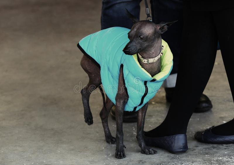 Funny hairless dog in warm royalty free stock photos