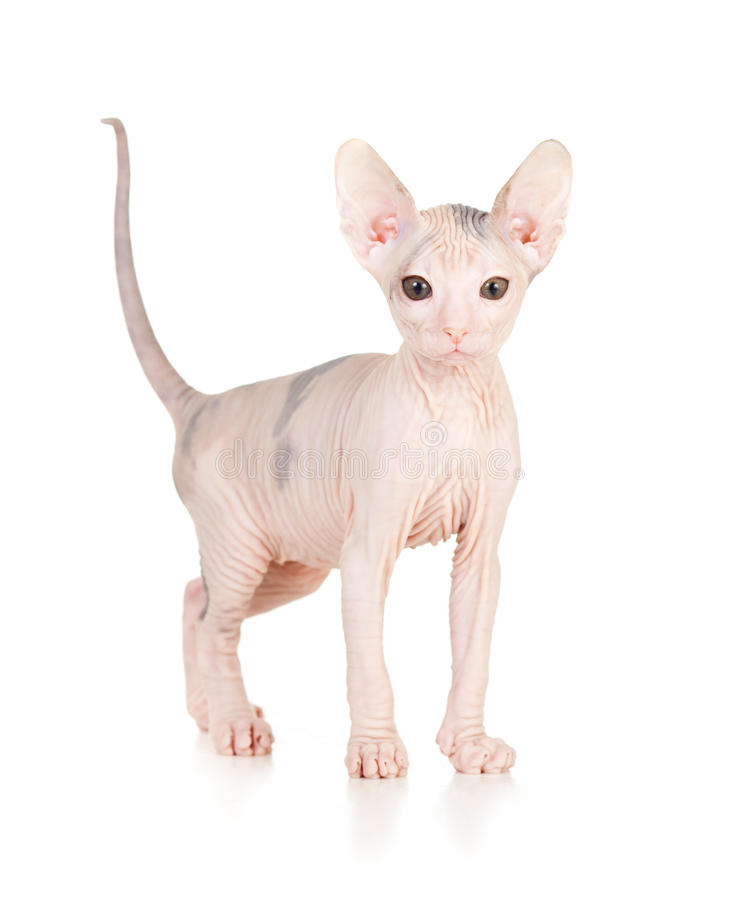 Free Funny Hairless Sphynx Kitten Royalty Free Stock Photo - 21839485