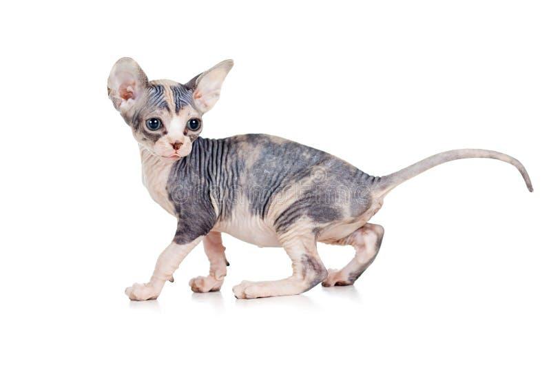 Funny Hairless Sphynx Kitten Royalty Free Stock Photography