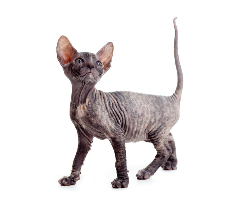 Free Funny Hairless Sphynx Kitten Isolated Royalty Free Stock Photo - 19156175