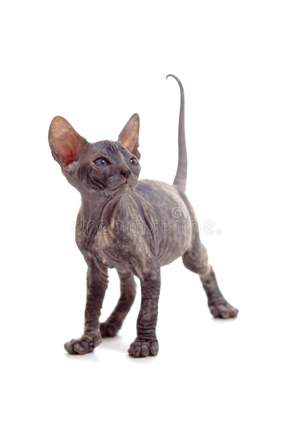 Free Funny Hairless Sphynx Kitten Isolated Stock Image - 21084591