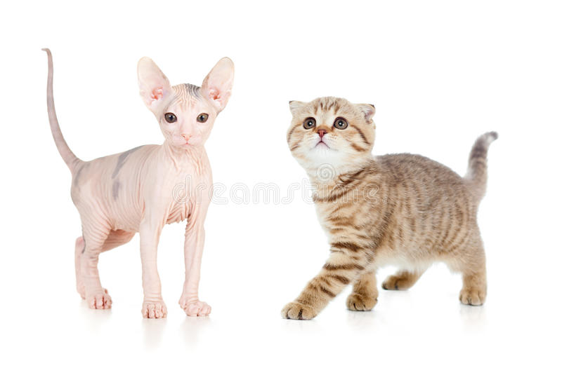 Funny hairless sphynx kitten isolated royalty free stock photography