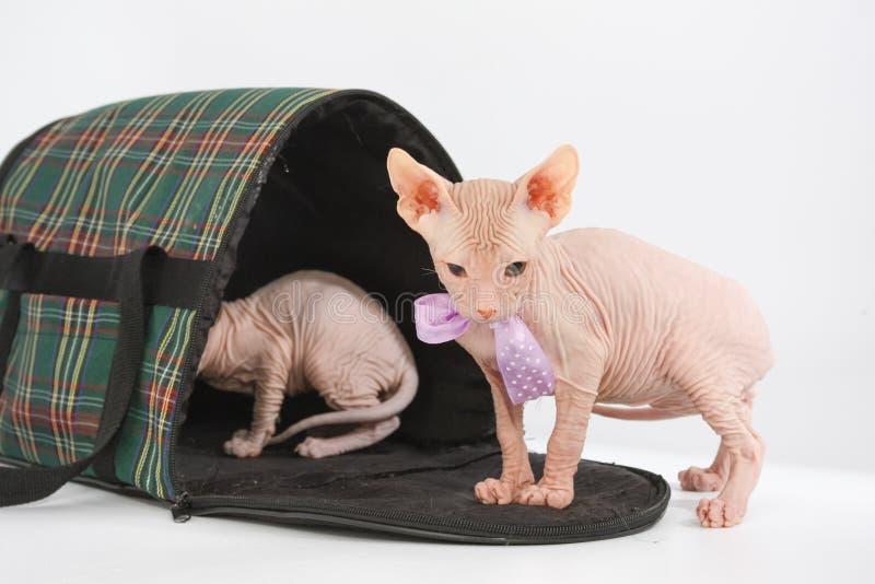 Funny hairless sphynx kitten on white background stock image