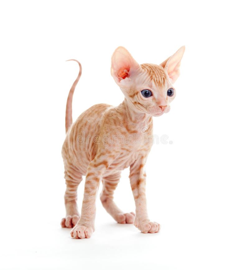 Free Funny Hairless Sphynx Tabby Kitten Isolated Royalty Free Stock Photography - 19156127