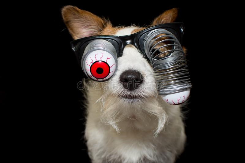 FUNNY HALLOWEEN DOG WEARING A ZOMBIE BLOODSHOT EYES GLASSES. ISO. LATED AGAINST BLACK BACKGROUND royalty free stock images