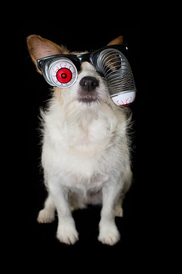 FUNNY HALLOWEEN JACK RUSSELL DOG WEARING A ZOMBIE BLOODSHOT EYES GLASSES COSTUME. ISOLATED AGAINST BLACK BACKGROUND.  royalty free stock image