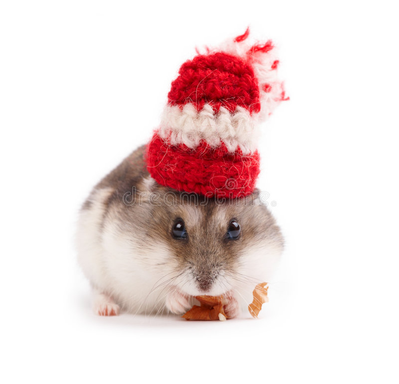 Funny hamster stock images