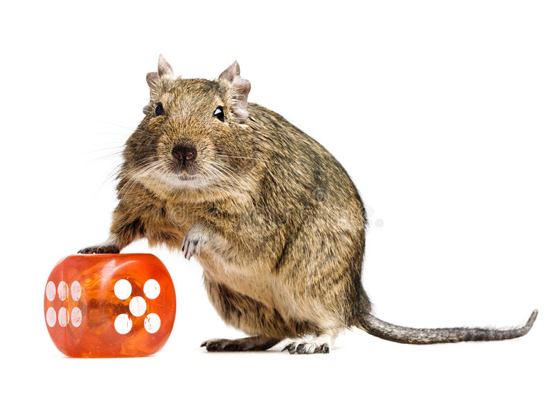 Funny hamster with big dice cube royalty free stock image